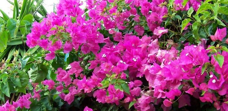 bougainvillea-glabra-plantas-trepadoras-perennes-con-flor