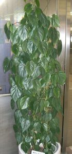 philodendron_scandens_subsp_oxycardium1_opt-140x300