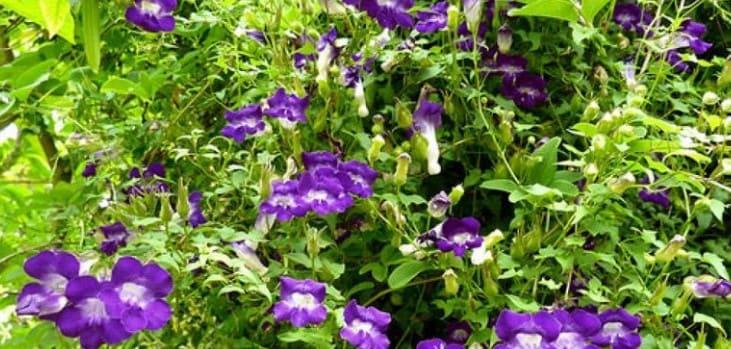 plantas-trepadoras-asarina-erubescens