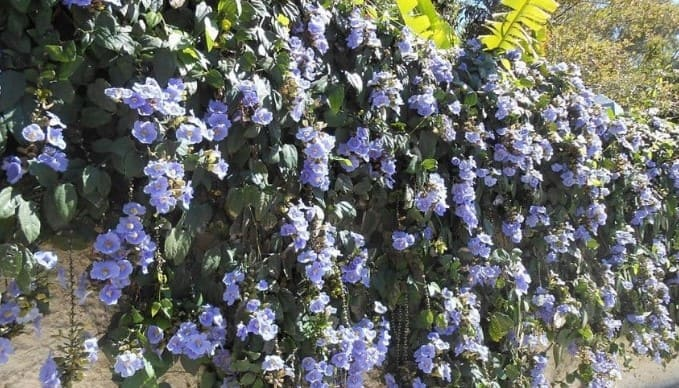 plantas trepadoras perennes de sombra