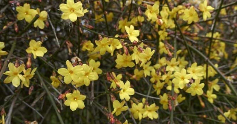 planta-trepadora-jasminum-nudiflorum-o-jazmin-de-invierno