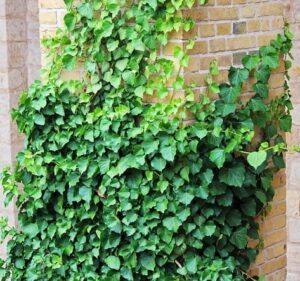 plantas-trepadoras-de-exterior