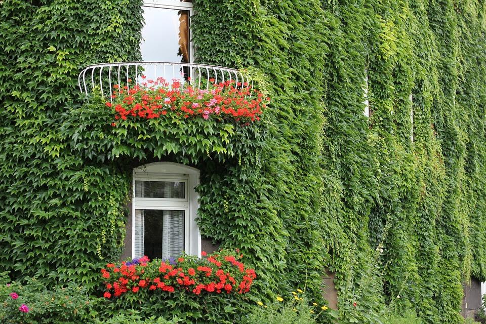 ivy trepadora que cubre todas la paredes de una casa