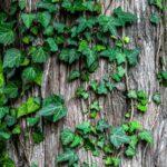 ivy-1030964_960_720