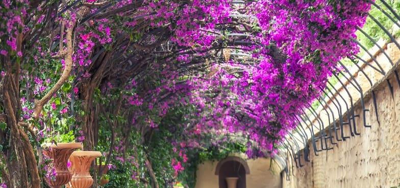 planta trepadora perfecta para pérgola bougainvillea glabra