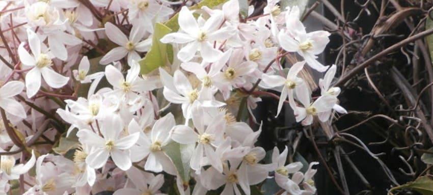 clematis piilu planta trepadora para pérgola