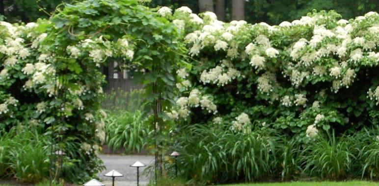 pérgola con hydrangea petiolaris o hortensia trepadora