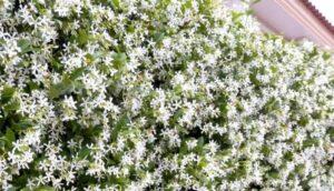 plantas trepadoras aromáticas para tu jardín
