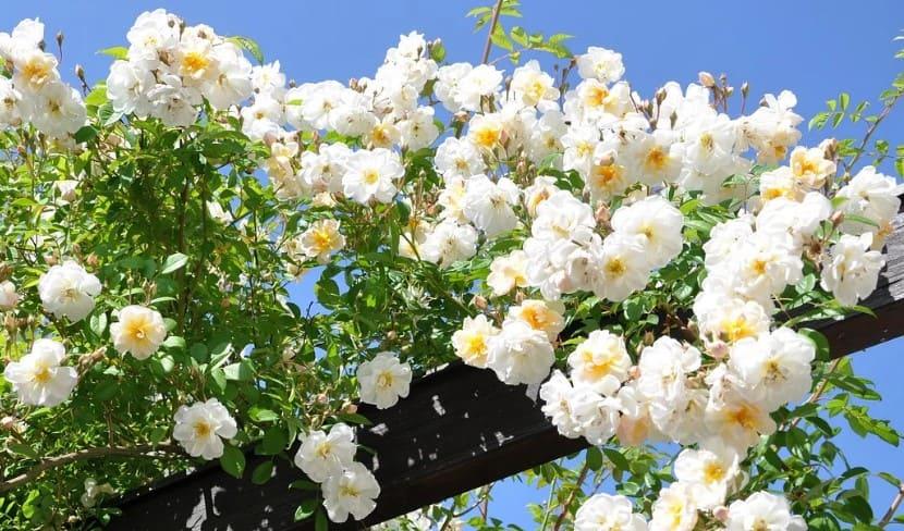 Plantas trepadoras con espinas como el rosal trepador