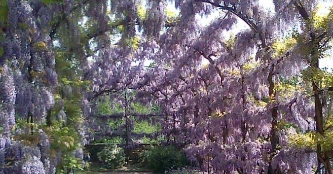 wisteria sinensislas mejores plantas trepadoras para pergolas, nombres de plantas trepadoras para pergolas, plantas trepadoras para pergolas perennes, plantas trepadoras para cubrir pérgolas, plantas trepadoras con flores para pérgolas, pérgolas de hierro para plantas trepadoras, planta trepadora para pérgola